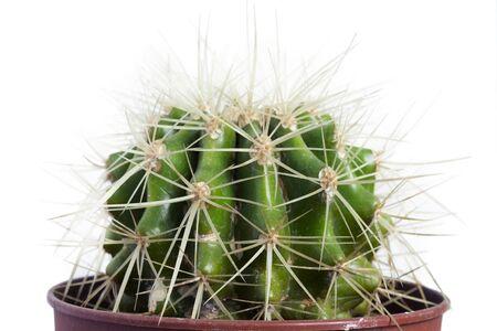 Pot houseplant echinocactus grusonii closeup on white background