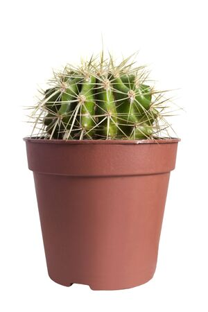 Houseplant cactus echinocactus grusonii in a pot on white background