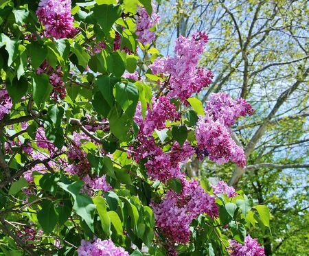 odori: Sapporo lilac blooms