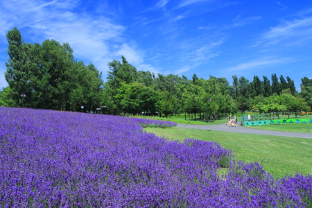 Lavender fields of Sapporo city park