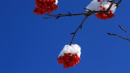 eberesche: Rowan of snow hat Lizenzfreie Bilder