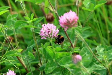Buff-tailed bumblebee and clover Stock Photo