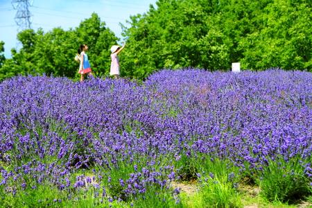 Sapporo citizen's park, lavender field