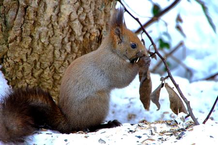 Hokkaido squirrel of Sapporo Park