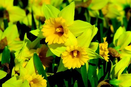 Narcissus scenery of Sapporo Kumanosawa Park