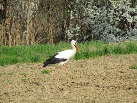 Stork gracefully walks the field in search of food