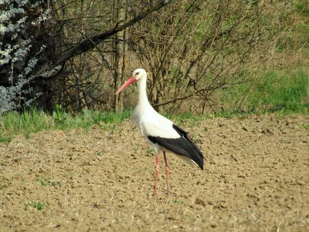 Storks as a herald of spring standing on the field and watching the environment Banco de Imagens