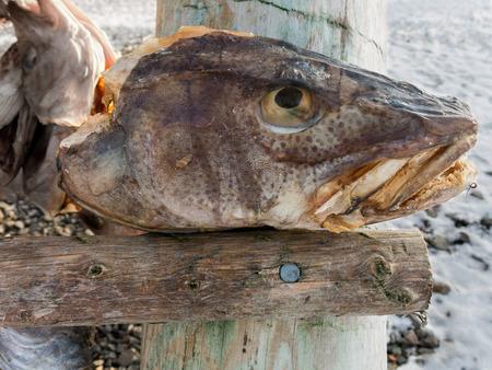 stockfish: Head of stockfish drying on rack in Svolvaer, Lofoten Islands, Norway