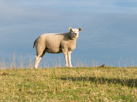 dyke: Portrait of one sheep standing in the grass on a polder dyke, Netherlands