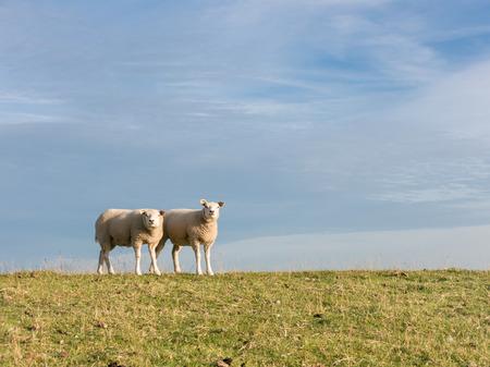 tortillera: Portrait of two sheep standing side by side in a row in the grass of a polder dyke, Netherlands Foto de archivo