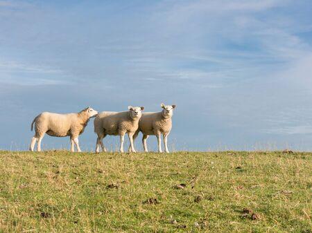 tortillera: Retrato de tres lados oveja de pie al lado del otro en una fila en el c�sped del dique p�lder, Pa�ses Bajos
