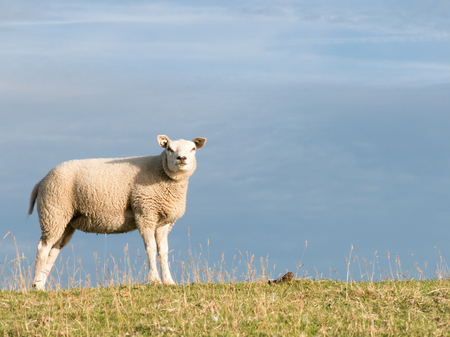 polder: Portrait of one sheep standing in the grass of a polder dyke, Netherlands