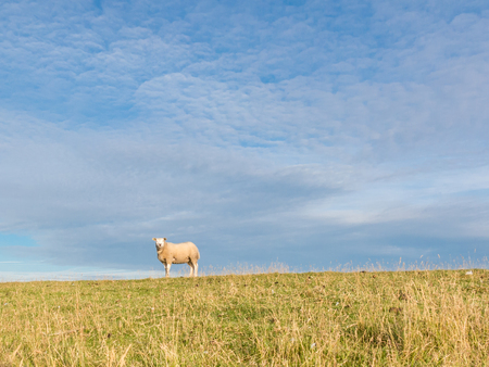 polder: Portrait of one sheep standing in the grass of polder dyke, Netherlands