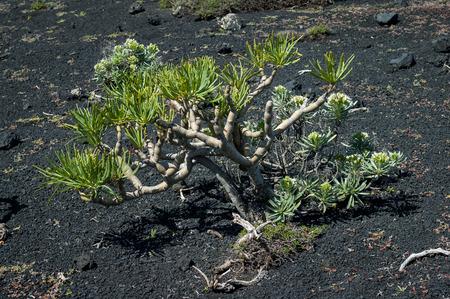 scoria: Kleinia neriifolia also known as Verode or Berode growing on the volcanic ash Stock Photo