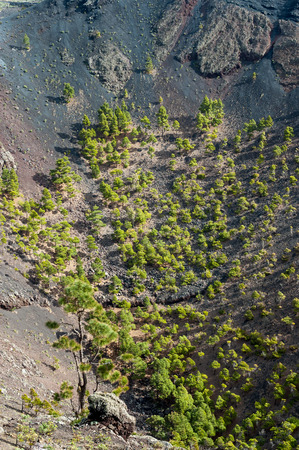scoria: Trees growing on lava and ashes in crater of San Antonio Volcano in the south of La Palma, Canary Islands, Spain