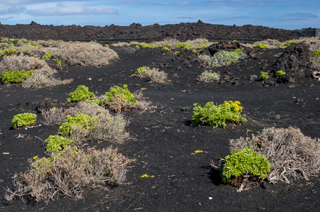 scoria: Plants growing on the soil of ash, lapilli and volcanic rock.   Teneguía Volcano in the south of the island La Palma, Canary Islands, Spain