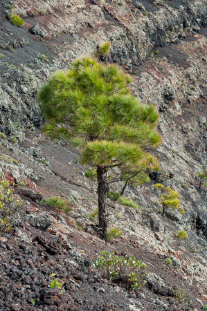 scoria: Tree growing on lava in crater of San Antonio Volcano in the south of La Palma, Canary Islands, Spain