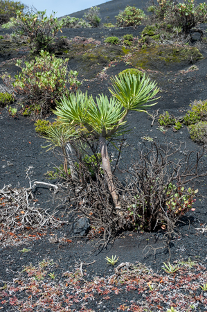 scoria: Kleinia neriifolia, known as Verode or Berode, growing on volcanic ash and lapilli of the Tenegua Volcano in the south of the island La Palma, Canary Islands, Spain