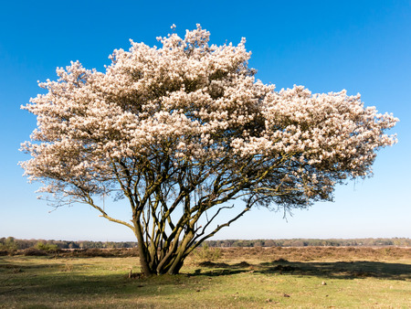 heath: Blooming serviceberry, Amelanchier lamarckii, in spring on the West Heath in  Gooi District, Netherlands