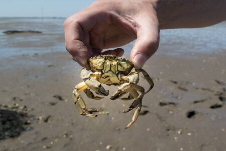 crab legs: Hand of man holding common shore crab in hand at ebb tide on the Waddensea wetlands, Netherlands Stock Photo