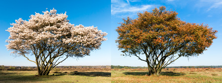 1 2 month: Same single tree in two different seasons: spring and autumn, Netherlands