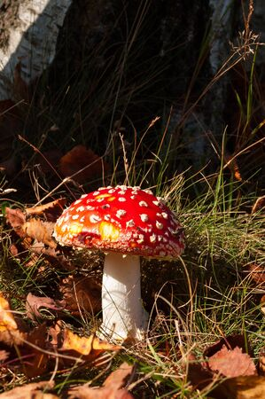 'fly agaric': Fly agaric red and white poisonous toadstool or mushroom called amanita muscaria, Netherlands Stock Photo
