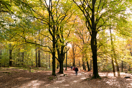 people walking: People walking in the woods on a sunny day in autumn, Doorn, Netherlands