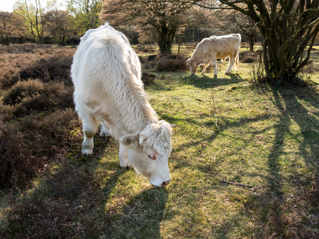 heath: Grazing Charolais cows in fields of south heath near Hilversum in Gooi District, Netherlands Stock Photo