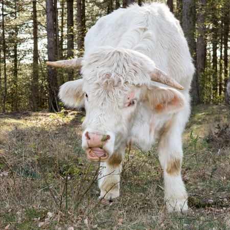 closeup cow face: Portrait of eating Charolais cow in the fields of the south heath near Hilversum in Gooi District, Netherlands Stock Photo