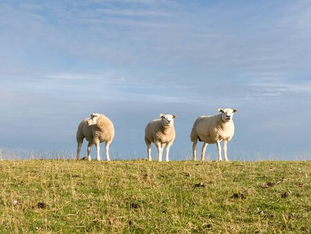 dyke: Portrait of three sheep  standing side by side in a row in grass of polder dyke, Netherlands Stock Photo