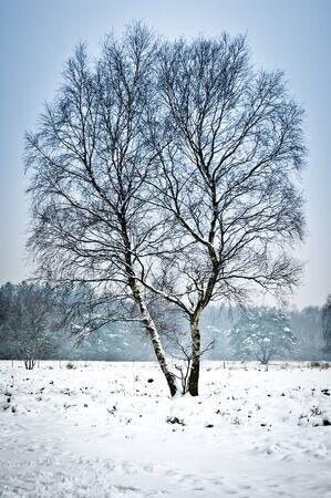 wintery snowy: Lone birch tree in winter landscape Editorial