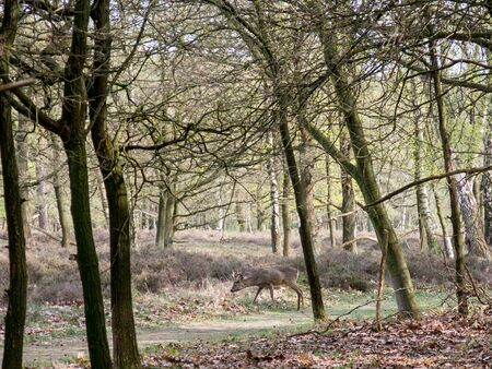 woodlands: Roe deer buck camouflaged in woodlands in spring in the Gooi district, Netherlands Stock Photo
