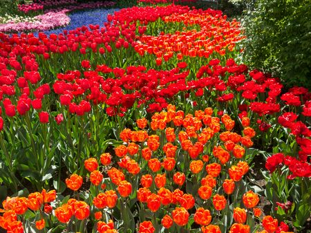 lisse: Field of red and orange tulips in Keukenhof Park in Lisse, Holland, Netherlands