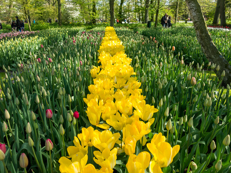 lisse: Bulb plants and flowering yellow tulips in spring in the Keukenhof Park in Lisse, Holland, Netherlands Stock Photo