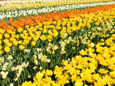 tulipan: Pole żółte i pomarańczowe tulipany i żonkile na wiosnę w Keukenhof Park, Lisse, Holandia