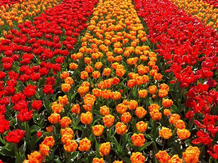 tulipan: Pola tulipanów w Keukenhof Park, Ogród Europy w Lisse w Holandii