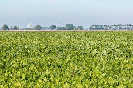 Field of sugar beat plants, beta vulgaris, in polder of Friesland, Netherlands Stock Photo