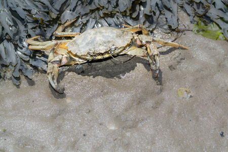 ebb: Aggressive common shore crab in defence at ebb tide on the Waddensea wetlands, Netherlands Stock Photo