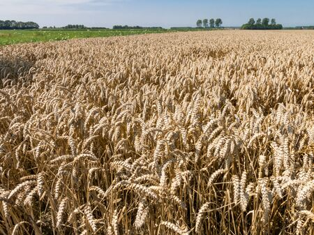 Wheat field on the island Goeree-Overflakkee in the province of South-Holland, Netherlands