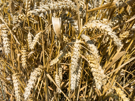 Detail of wheat field on the island Goeree-Overflakkee in the province of South-Holland, Netherlands