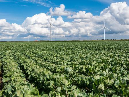 Field of spruitjes planten en windturbines in Flevoland polder, Nederland