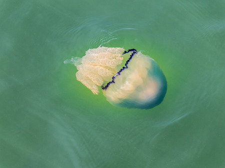 dustbin: Rhizostome jellyfish (or barrel jellyfish, dustbin-lid jellyfish), swimming in North Sea, Netherlands