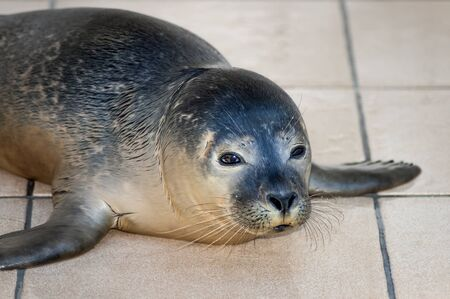 recovering: Common seal Phoca vitulina recovering  from injuries in Seal Sanctuary Ecomare on the island Texel, Netherlands Stock Photo