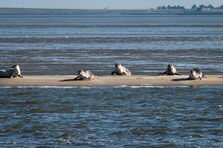 sandbank: Common and grey seals resting on a sandbank at low tide, Waddensea, Netherlands