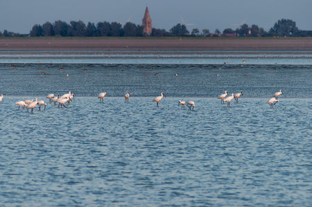 wading: Group of spoonbills, Platalea leucorodia, wading in shallow salt water, Waddensea, Netherlands