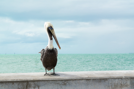 fishing pier: Portrait of brown pelican  on White Street Fishing Pier in Key West, Florida Keys, USA