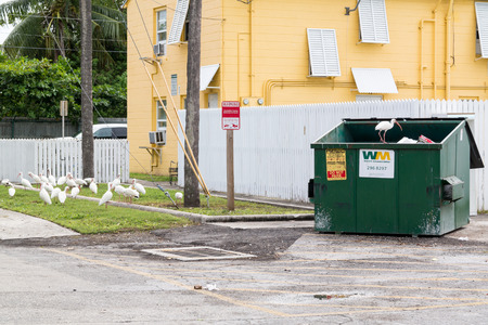 roaming: White ibis roaming about looking for food among waste in and near waste container, Key West, Florida, USA