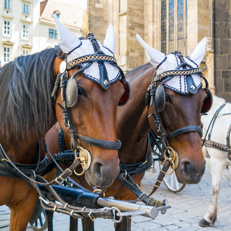 stephansplatz: Heads of two brown fiaker carriage horses on Stephansplatz in downtown Vienna, Austria