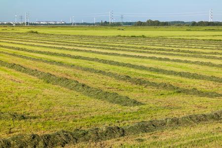 polder: Grassland with mown grass for haymaking in polder near Amsterdam, North Holland, Netherlands