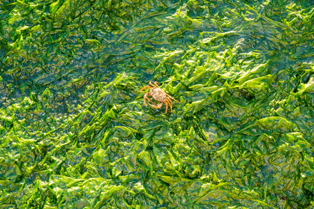 saltwater: Shore crab, Carcinus maenas, walking on sea lettuce, Ulva lactuca, on saltwater tidal flats at low tide of Waddensea, Netherlands Stock Photo